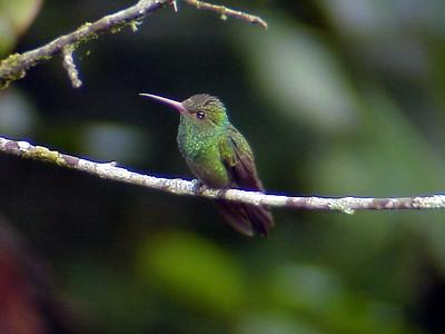 Rufous-tailed Hummingbird at Cinchona Costa Rica 2-10-03 (50898252)