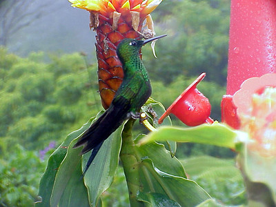 Green-crowned Brilliant male at La Paz Waterfall Gardens Costa Rica 2-10-03 (50898156)