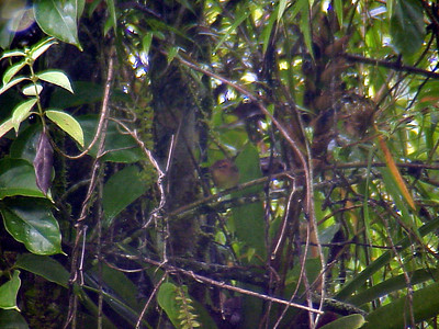 Ochraceous Wren at La Paz Waterfall Gardens Costa Rica 2-10-03 (50898189)