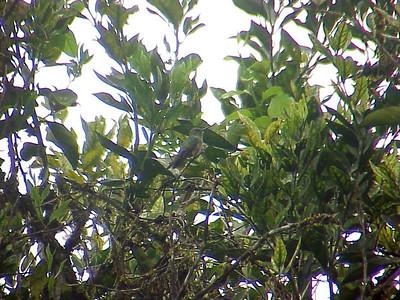 Scaly-breasted Hummingbird at El Gavilan Lodge Costa Rica 2-11-03 (50898264)