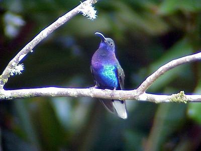 Violet Sabrewing at Cinchona Costa Rica 2-10-03 (50898329)