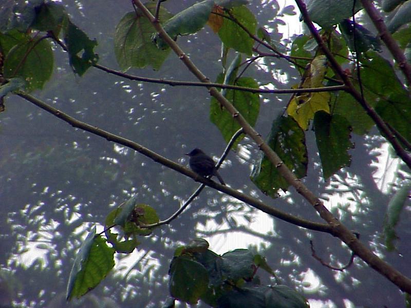 Dark Pewee at La Paz Waterfall Gardens Costa Rica 2-10-03 (50898117)