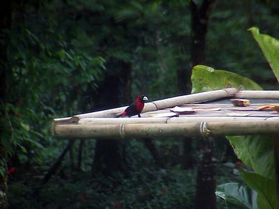 Crimson-collared Tanager male at El Gavilan Lodge Costa Rica 2-11-03 (50898115)