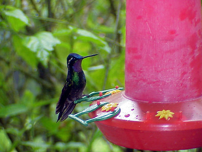 Purple-throated-Mountain Gem at La Paz Waterfall Gardens Costa Rica 2-10-03 (50898220)