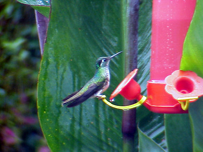 White-bellied Mountain-Gem at La Paz Waterfall Gardens Costa Rica 2-10-03 (50898347)