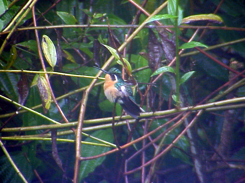Purple-throated Mountain-Gem female at La Paz Waterfall Gardens Costa Rica 2-10-03 (50898219)