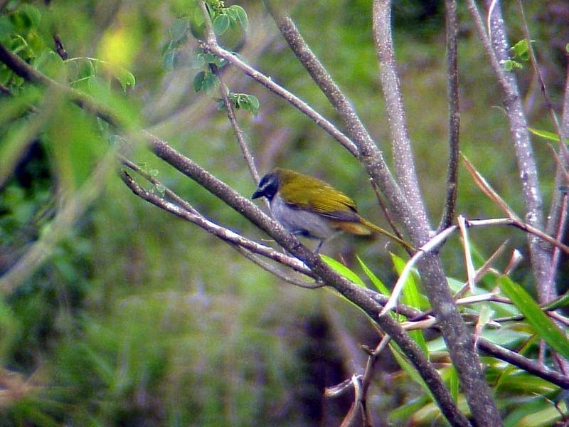 Buff-throated Saltator at San Miguel Pond Costa Rica 2-10-03 (50898072)