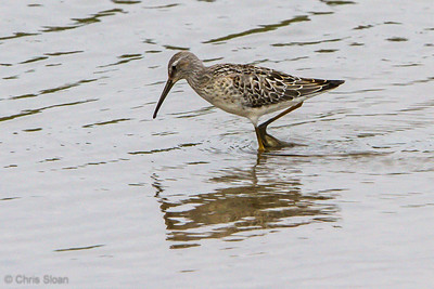 Stilt Sandpiper juvenile at Duck River Unit, TNNWR, TN (08-26-2012)-25