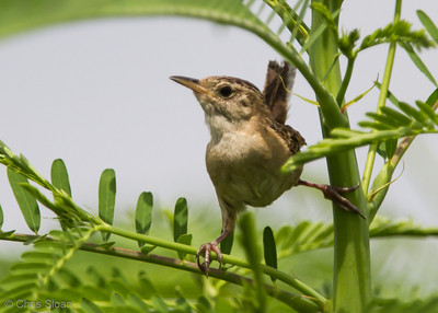 Sedge Wren at Duck River Unit, TNNWR, TN (08-26-2012)-73