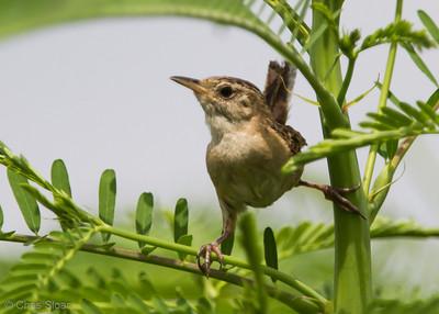 Sedge Wren at Duck River Unit, TNNWR, TN (08-26-2012)-73