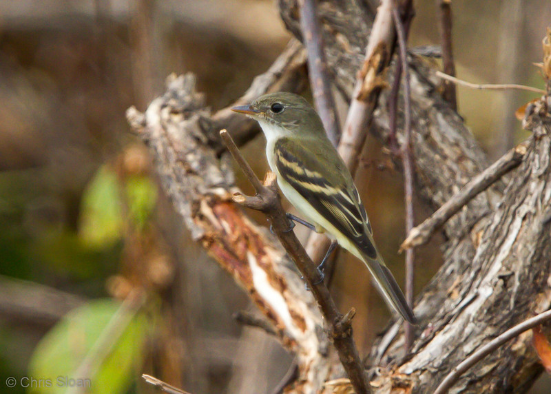 Alder Flycatcher juvenile at Duck River Unit, TNNWR, TN (08-26-2012)-49