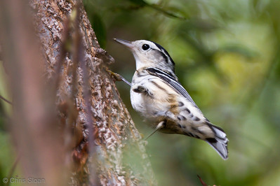 Black-and-white Warbler at Duck River Unit, TNNWR, TN (08-26-2012)-47
