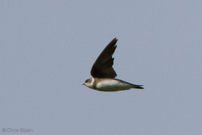 Bank Swallow at Duck River Unit, TNNWR, TN (08-18-2012)-11