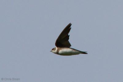 Bank Swallow at Duck River Unit, TNNWR, TN (08-18-2012)-11
