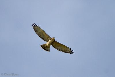 Broad-winged Hawk juvenile at Duck River Unit, TNNWR, TN (08-18-2012)-16