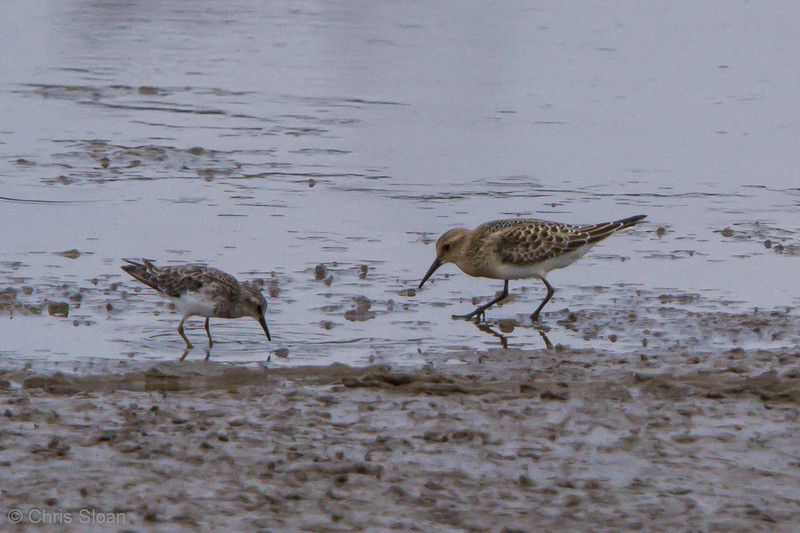 Baird's Sandpiper juvenile with Least Sandpiper juvenile at Duck River Unit, TNNWR, TN (08-26-2012)-32