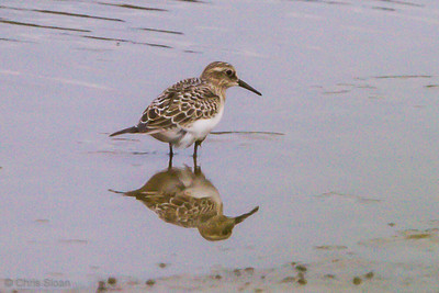 Baird's Sandpiper juvenile at Duck River Unit, TNNWR, TN (08-26-2012)-80