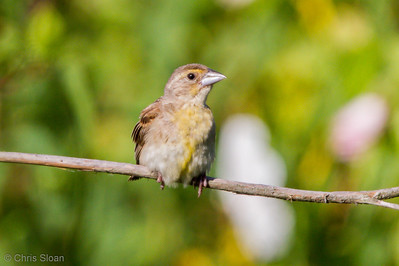 Dickcissel juvenile at Duck River Unit, TNNWR, TN (08-18-2012)-14
