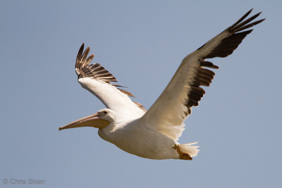 American White Pelican at Duck River Unit, TNNWR, TN (08-18-2012)-18
