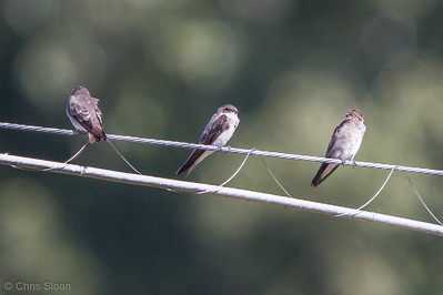Bank Swallow with Northern Rough-winged Swallows at Duck River Unit, TNNWR, TN (08-18-2012)-17