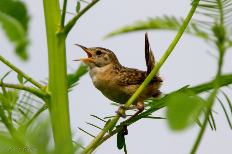 Sedge Wren at Duck River Unit, TNNWR, TN (08-26-2012)-65