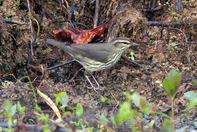 Northern Waterthrush juvenile at Duck River Unit, Tennessee NWR, TN (09-08-2012)-4