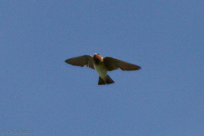 Cliff Swallow at Duck River Unit, TNNWR, TN (08-18-2012)-12
