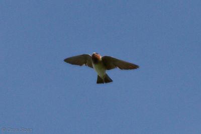 Cliff Swallow at Duck River Unit, TNNWR, TN (08-18-2012)-12