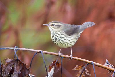 Northern Waterthrush juvenile at Duck River Unit, Tennessee NWR, TN (09-08-2012)-3