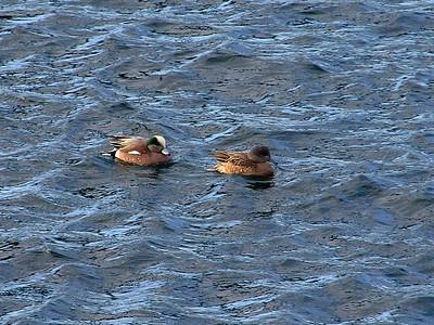 Ducks-Geese