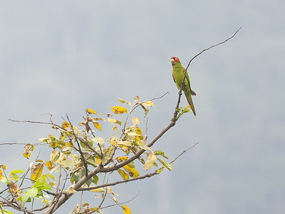 Red-masked Parakeet at Manglares Churute, Azuay, Ecuador (11-19-2019)-5