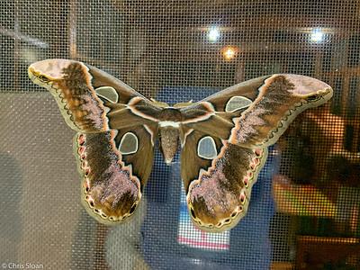 Moth at Buenaventura Reserve and Umbrellabird Lodge, El Oro, Ecuador (11-19-2019)-324-3