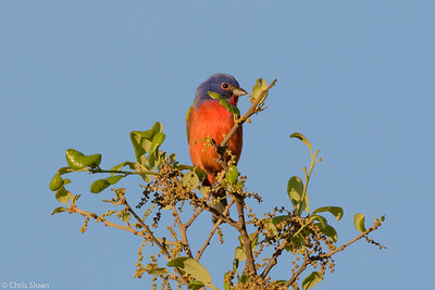 Painted Bunting male at Kerr WMA , TX (04-23-2016) 086-8