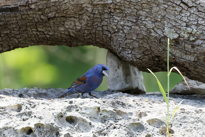 Blue Grosbeak male at Lost Maples SNA , TX (04-23-2016) 086-172