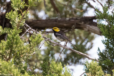 Golden-cheeked Warbler male at Lost Maples SNA , TX (04-23-2016) 086-190