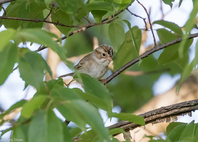 Clay-colored Sparrow at Kerr WMA , TX (04-23-2016) 086-24