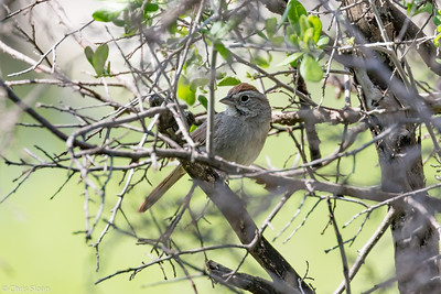 Rufous-crowned Sparrow at Kerr WMA , TX (04-23-2016) 086-129