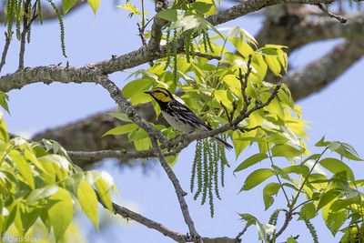Golden-cheeked Warbler male at Lost Maples SNA , TX (04-23-2016) 086-211