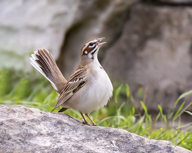Lark Sparrow at Lost Maples SNA , TX (04-23-2016) 086-322-Edit