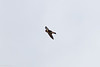 Cave Swallow at Kickapoo Cavern State Park , TX (04-24-2016) 086-187
