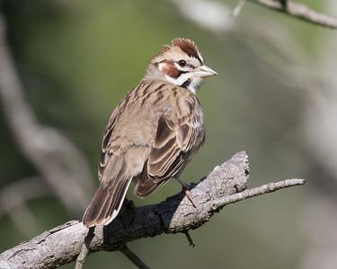 Lark Sparrow at Kerr WMA , TX (04-23-2016) 086-127