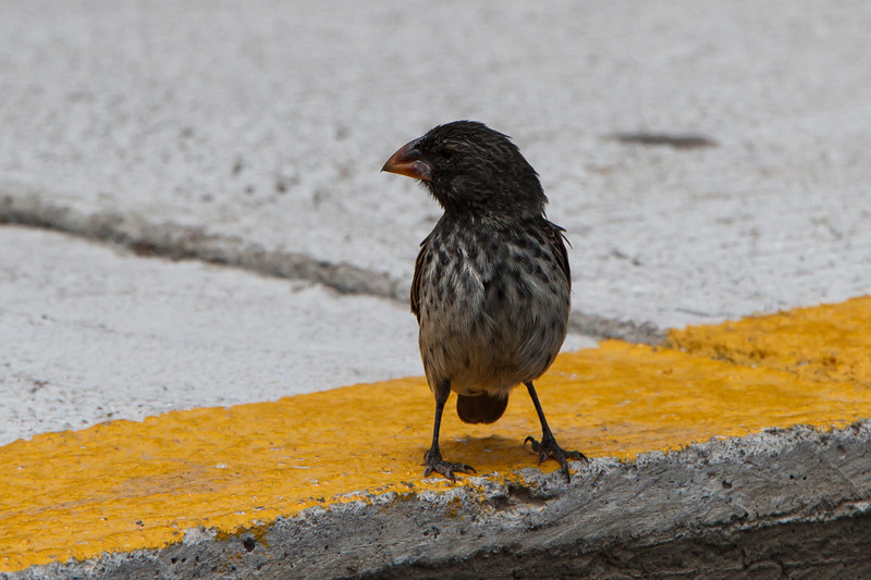 Medium Ground-Finch at Baltra, Galapagos, Ecuador (11-19-2011)-13