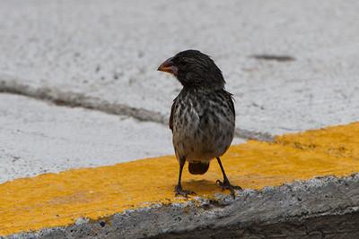 Medium Ground-Finch at Baltra, Galapagos, Ecuador (11-19-2011)-13