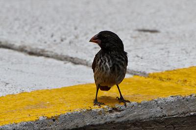 Medium Ground-Finch at Baltra, Galapagos, Ecuador (11-19-2011)-12