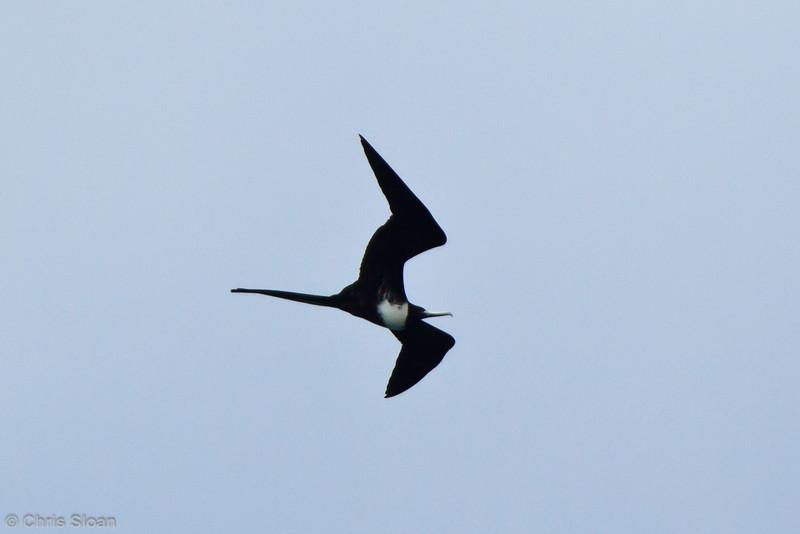 Magnificent Frigatebird female at Baltra, Galapagos, Ecuador (11-19-2011)-52