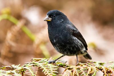 Small Ground-Finch at Santa Cruz, Galapagos, Ecuador (11-20-2011) - 640