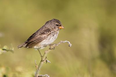 Small Ground Finch at North Seymour, Galapagos, Ecuador (11-19-2011) - 331