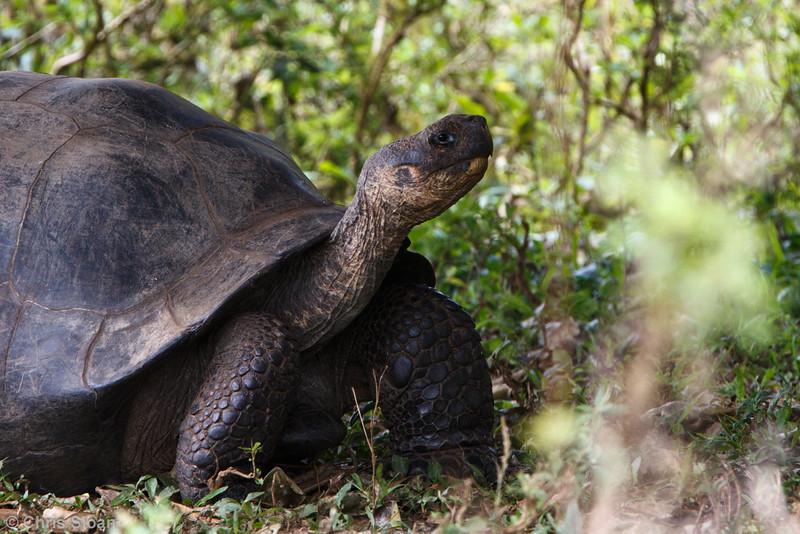 Galapagos Tortoise at Santa Cruz, Galapagos, Ecuador (11-20-2011) - 945