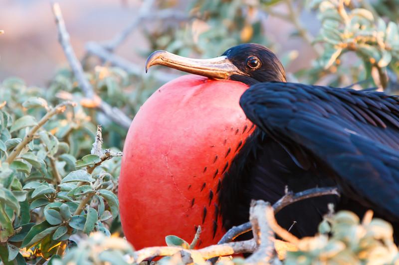 Magnificent Frigatebird at North Seymour, Galapagos, Ecuador (11-19-2011) - 503