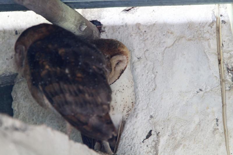 Barn Owls at Santa Cruz, Galapagos, Ecuador (11-20-2011) - 005